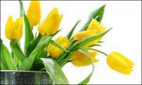 ดอกทิวลิปสีเหลืองรูปภาพวัสดุ