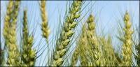 Material de imagen de trigo
