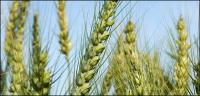 Weizen-Bildmaterial