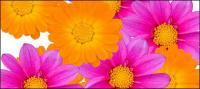 Material de imagen de color daisy