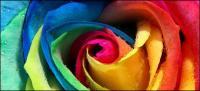 Materi gambar close-up warna bunga mawar