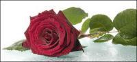 大きな赤いバラの写真素材