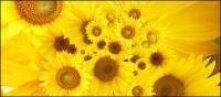 عباد الشمس الصورة خلفية المواد-4