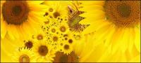 Sunflower gambar latar belakang bahan-5