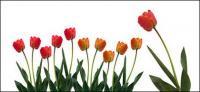 ดอกทิวลิปภาพวัสดุ