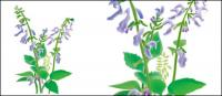 Hierbas medicinales chinas - Danxiong vector