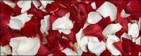 लाल गुलाब और सफेद गुलाब की पंखुड़ियों