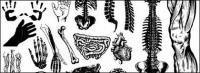 Vaya medios producidos vector material - los órganos y partes del cuerpo humano