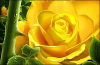 黄色のバラの水