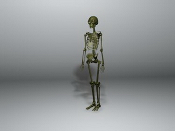 3D model of the human skeleton