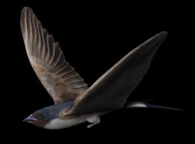 Swallow Model
