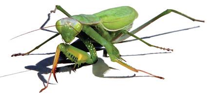 Representación realista de AI de mantis material de vectores