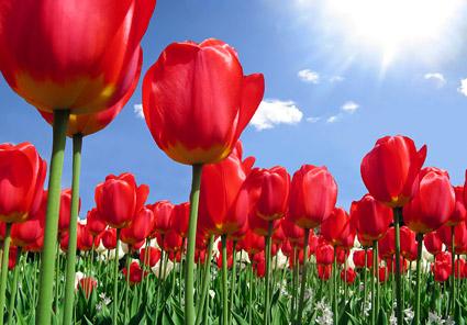 วัสดุรูปภาพสวนดอกทิวลิป
