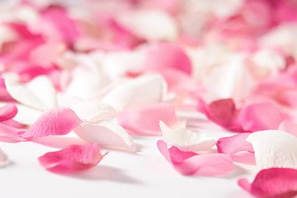 รูปภาพสีชมพูกุหลาบกลีบดอกไม้กุหลาบขาว