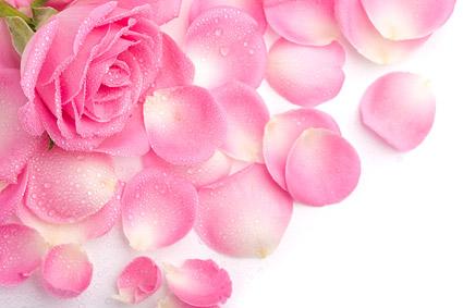 Pétalos de Rosas rosadas de la imagen material