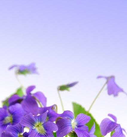 Eleganten lila Blüten-Bildmaterial
