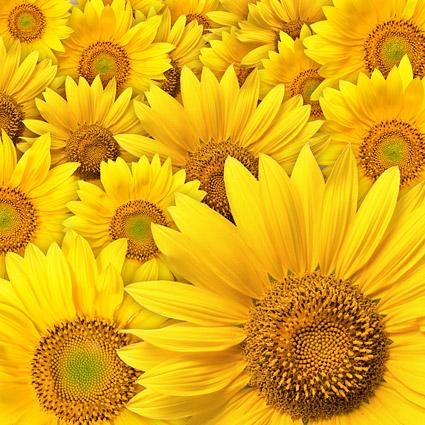Sonnenblume Hintergrund-Bildmaterial