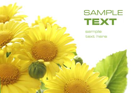 Sonnenblume Qualität-Bildmaterial