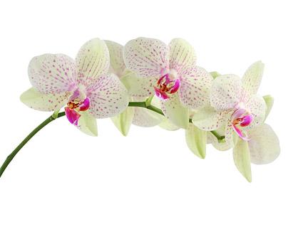 Орхидея белое изображение материала-4