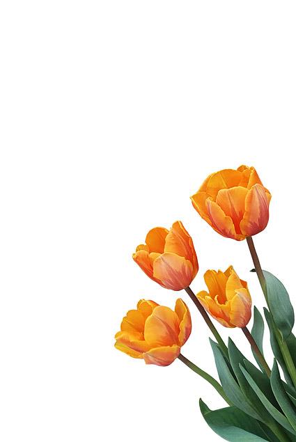 Material de imagen de tulipán naranja