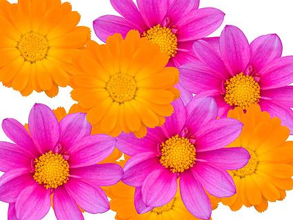 Farbe-Daisy-Bildmaterial