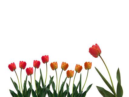 Tulip-Bildmaterial