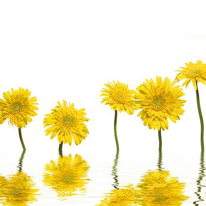 Gelbe Gänseblümchen-Bildmaterial