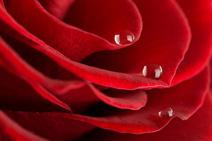 Panorama General de primer plano del material de rosas rojas -5