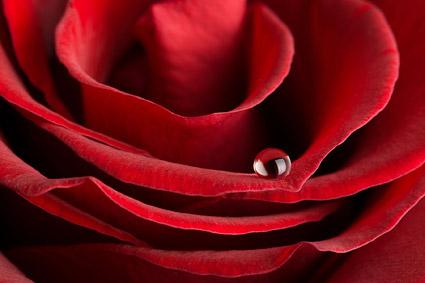 Panorama General de primer plano del material de rosas rojas -4