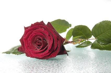 큰 빨간 장미 그림 자료