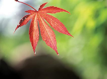 赤いカエデの葉の画像素材