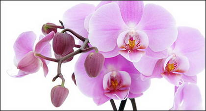 Орхидея белое изображение материала-2