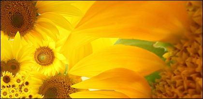 Sunflower ภาพพื้นหลังของวัสดุ-6
