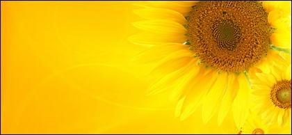 Sunflower ภาพพื้นหลังของวัสดุ-1