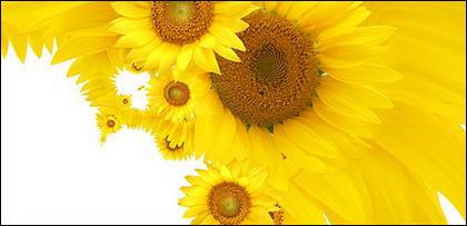 Sunflower ภาพพื้นหลังของวัสดุ-12