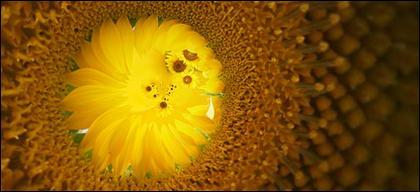 Sunflower ภาพพื้นหลังของวัสดุ-11