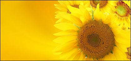 Sunflower ภาพพื้นหลังของวัสดุ-10