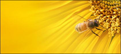 Sunflower ภาพพื้นหลังของวัสดุ-8