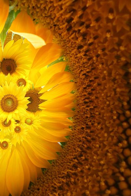 Material de fondo de imagen girasol-3