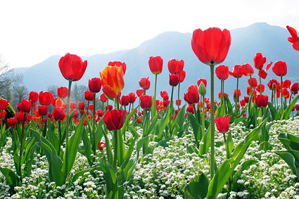 Cong material de imagen de tulipanes