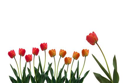 Material de imagen de tulipanes