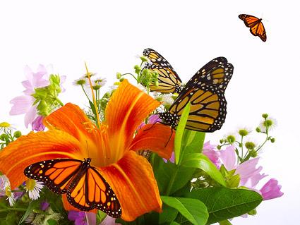 Matériel d'image papillon et lily