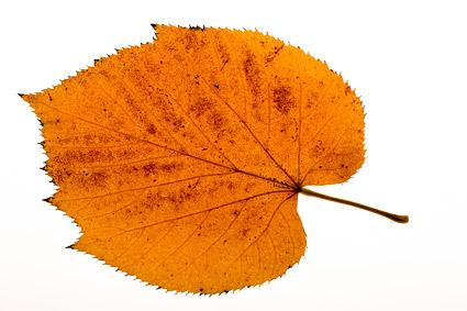 秋の葉の素材の写真