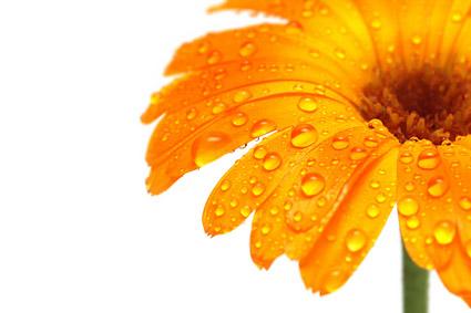 Material de imagen de daisy amarillo oro