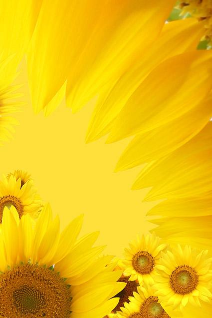 Sunflower ภาพพื้นหลังของวัสดุ-13