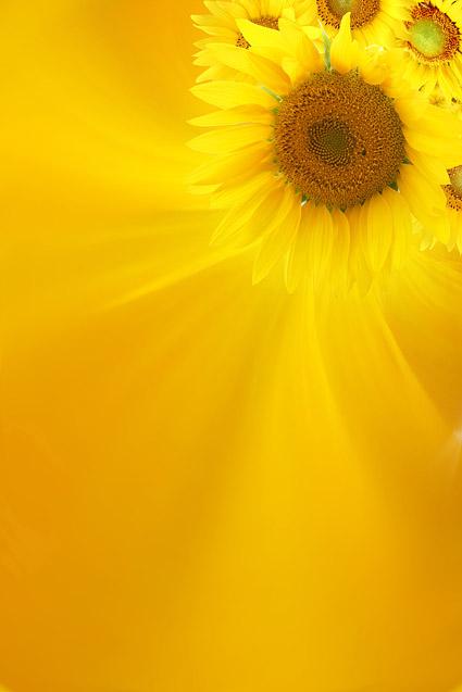 Sunflower gambar latar belakang bahan-10