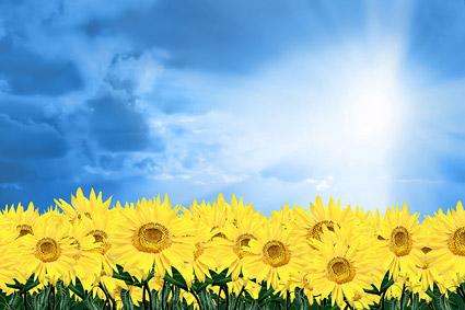 วัสดุรูปภาพท้องฟ้า sunflower