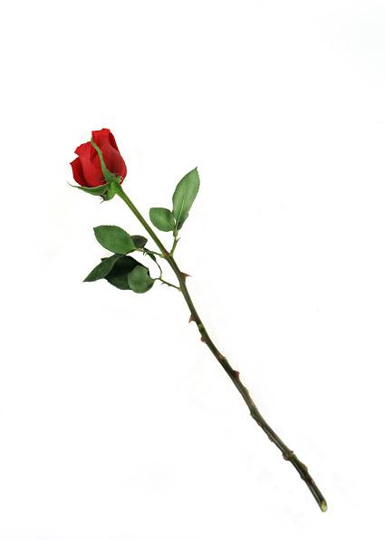 Un material de imagen Rosa Roja
