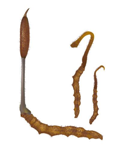 Vecteur Cordyceps