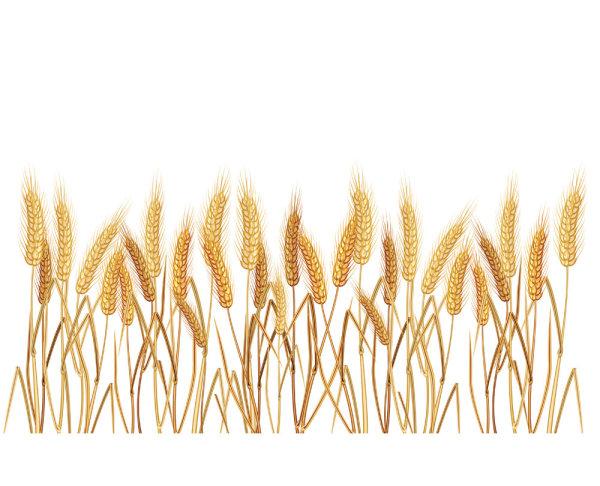 Matériau de vecteur de blé jaune 02--